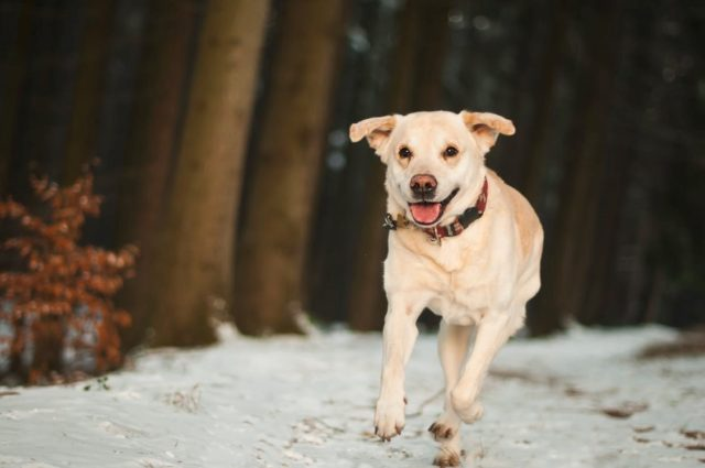 A dog running in the woods